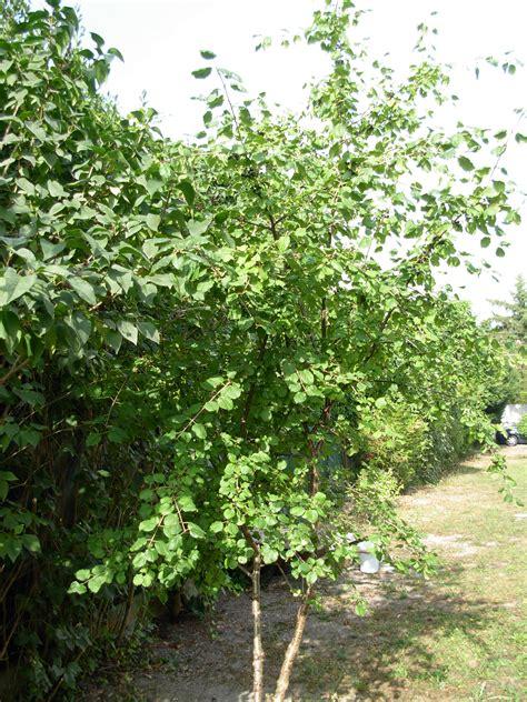 Arbuste Baies Noires by Identifie Rhamnus Cathartica Arbuste Aux Baies Noires