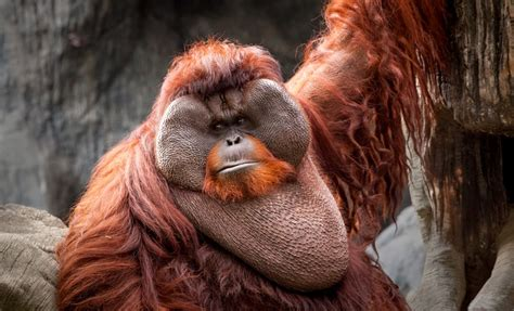 Bornean Orangutan Facts, Habitat, Diet, Life Cycle, Baby ...
