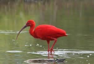 Scarlet ibis trinidad and tobago national bird