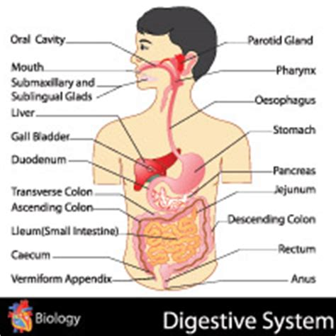 Detox My Digestive System by Herbal Colon Detox Capsules Dr Fosters Essentials