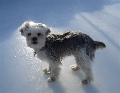 grown yorkie pictures yorkie bichon bichon frise terrier mix info pictures
