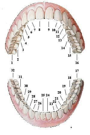 teeth diagram with numbers tooth numbers diagram diagrams of how primary and
