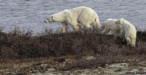 churchill photos of the week bears churchill polar bears