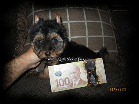 yorkie breeders edmonton yorkie terrier breeder edmonton alberta canada