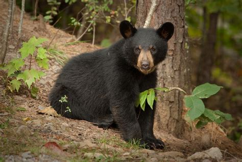 black bear all about animal wildlife black bear facts and images 2012