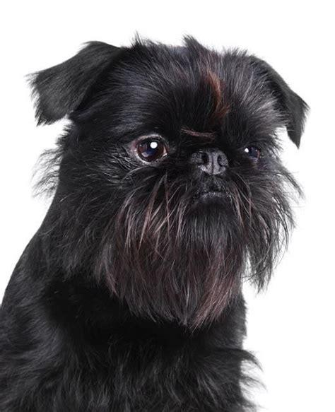 griffon puppies 17 best ideas about griffon bruxellois on brussels griffon puppies