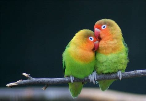 Pair Of Pair Of Lovebirds Wanted Rossendale Lancashire