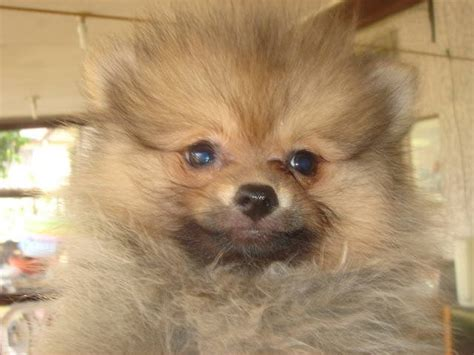 price of pomeranian in philippines pomeranian pups for sale chrisden line for sale adoption from rizal antipolo adpost