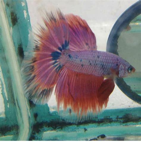 Pakan Ikan Cupang Umur 10 Hari budidaya ikan cupang pemuda tani