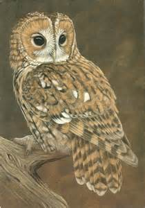 tawny owl all about birds pinterest