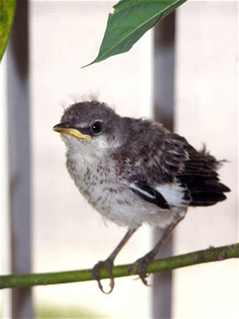 the rasch outdoor chronicles feeding a baby mockingbird