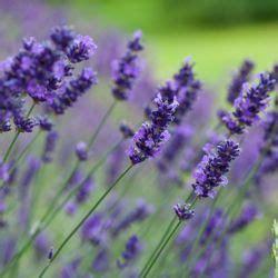 lavandula angustifolia hidcote lavender indoor