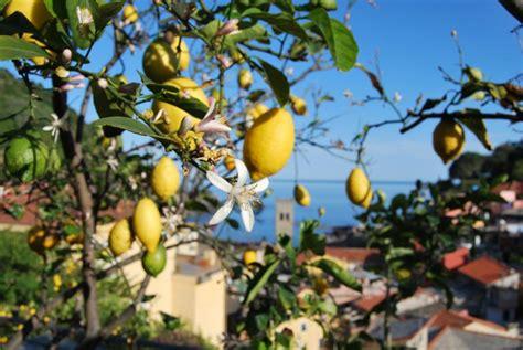 cing dei fiori liguria il limone il frutto d oro 5terre