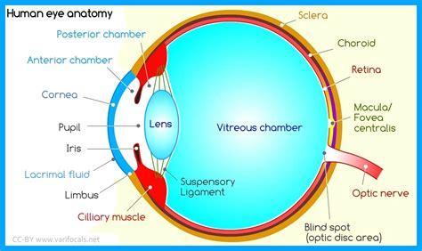 Fine Blind Spot Anatomy Elaboration Image Of Internal Organs Of