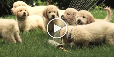how much are golden retriever puppies 21 golden retriever pups so much with sprinkler