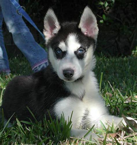 cheap siberian husky puppies american bulldog puppies siberian husky puppies salesiberian husky breederssiberian