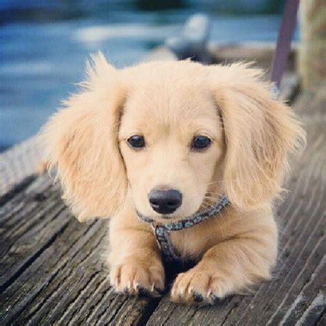 golden retriever dachshund puppies dachshund golden retriever mix my style