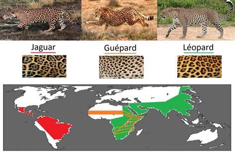 difference jaguar leopard quelle est la diff 233 rence entre jaguar l 233 opard et gu 233 pard