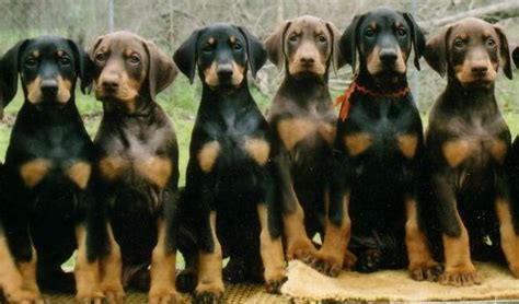 doberman pinscher puppy for sale european large doberman dogs for sale breeds picture