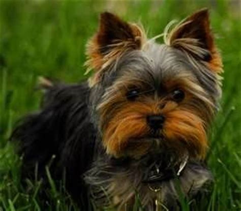 types of yorkie haircuts 25 best ideas about cute puppy wallpaper on pinterest