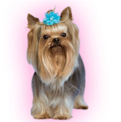 where to buy a yorkie near me yorkie puppies prices breeds picture