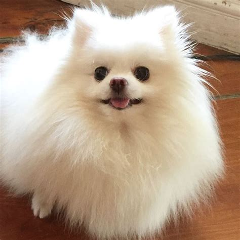 pomeranian white 25 best white pomeranian ideas on