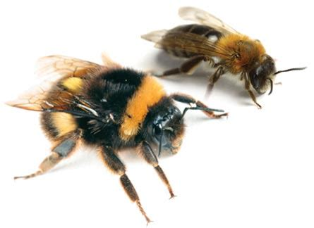 bees regional pest services