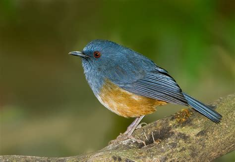 nilgiri blue robin myiomela major also known as nilgiri