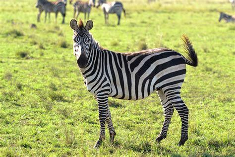 imagenes de animales cebra free stock photo of animals wild animal zebra