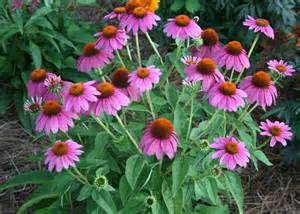 plan to include purple coneflowers in gardens