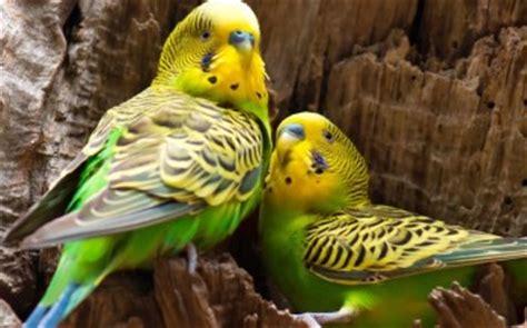 alimentazione pappagallini pappagallini