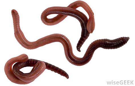 Phylum Annelida An Overview Of Biodiversity Phylum Annelida Segmented Worms Biodiversitybasics