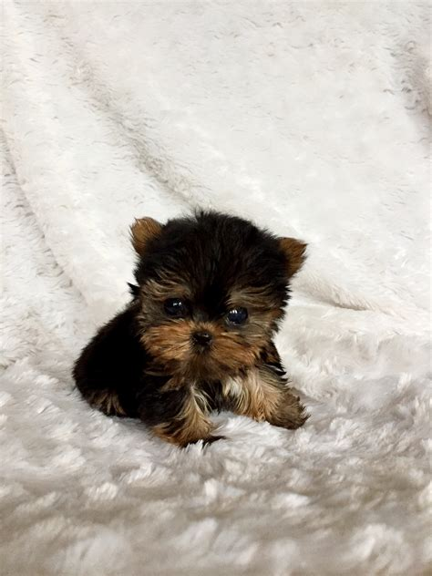 yorkie breeders los angeles micro teacup yorkie puppy for sale los angeles breeder iheartteacups