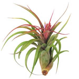 air plants large air plants streptophylla air plants 30 day air plant