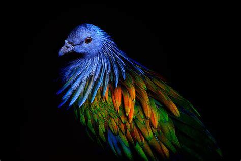 nicobar pigeon   closest living relative
