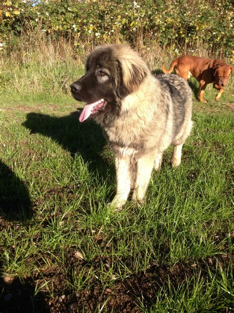 caucasian shepherd for sale caucasian ovcharka for sale coalville leicestershire pets4homes