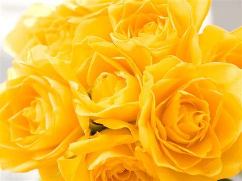 imagenes de rosas hermosas amarillas flores del mundo bellas rosas