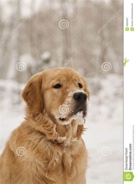 dogs similar to golden retrievers beautiful golden retriever dogs royalty free stock photography image 18952937