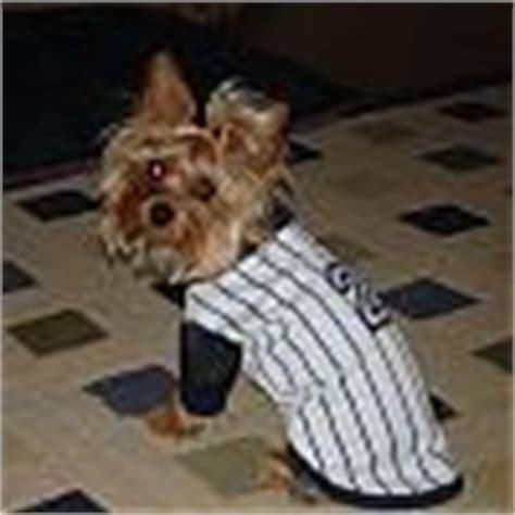 wire haired yorkie wire haired yorkie yorkietalk forums terrier community