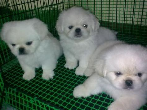 pekingese puppies for free pekingese puppies for sale adoption from kuala lumpur adpost classifieds