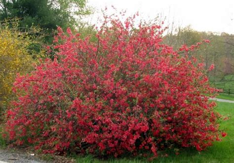 flowering quince shrub of an ancient gardener deer country flowering