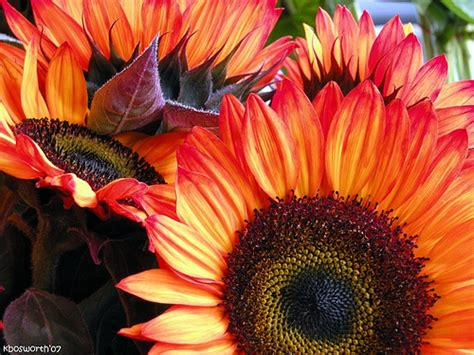 Colors Of Orange 20071026 fall sunflowers jpg never seen colors like this