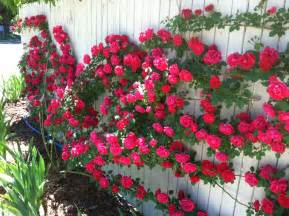 Patio Roses For Sale Best Climbing Roses Img 5316 300x224 Blaze Climbing Rose