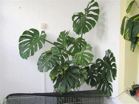 malattie piante appartamento monstera piante appartamento coltivazione monstera