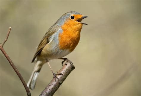 different types of birds that sing vocal learning similarities in songbirds and humans