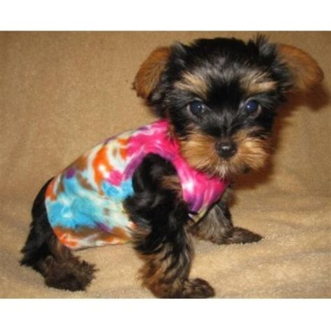 yorkie puppies massachusetts powell terrier breeder in newton massachusetts listing id 22312