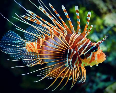 lion fish project aware