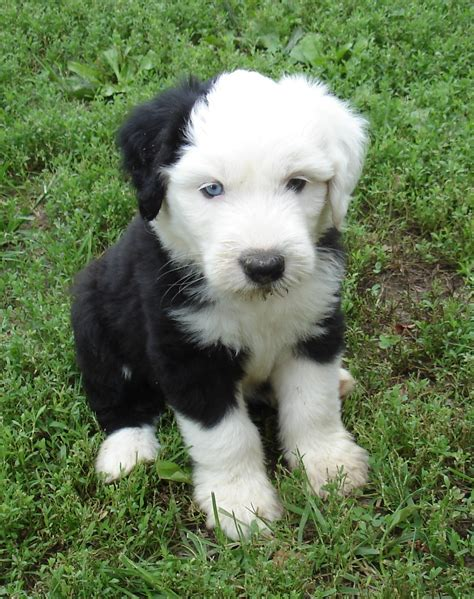 sheepdog puppies sheepdog puppy photo and wallpaper beautiful sheepdog puppy