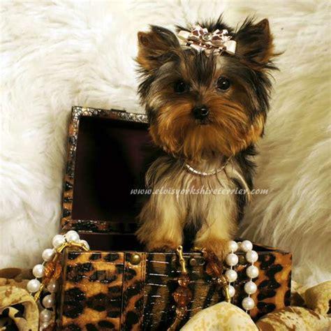 yorkie teacup terrier teacup terrier for sale april