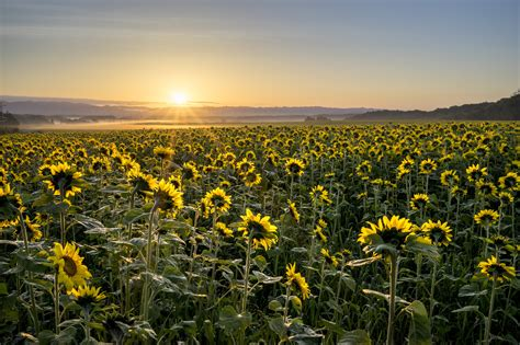 sunflower field the sunflower field sunrise at hokkaido by kedama 500px